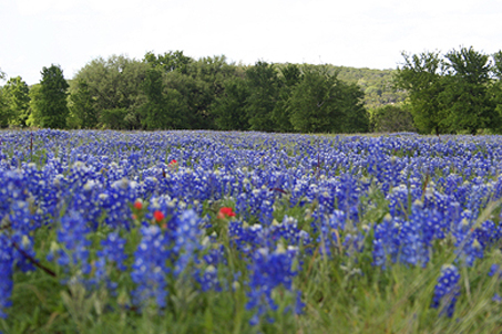 A field full of our state flower