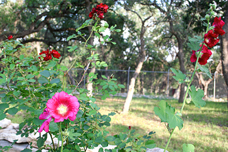 Hollyhocks and red Roses