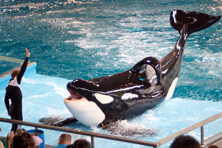 A killer whale next to a trainer for scale