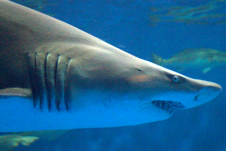 A very sinister looking shark swims by