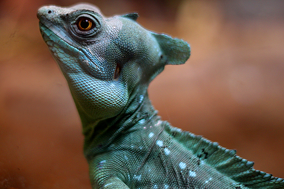 Close-up of the lizard that Calvin later likened to a baby Parasaurolophus because of its crest