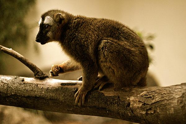 A Curious Lemur Perches Near the Glass